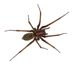Spider Control - House Spiders