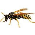 Wasp/Yellow Jacket Control