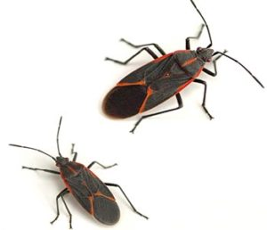 Boxelder Bug Control in Crystal Lake, Lake in the HIlls, Algonquin