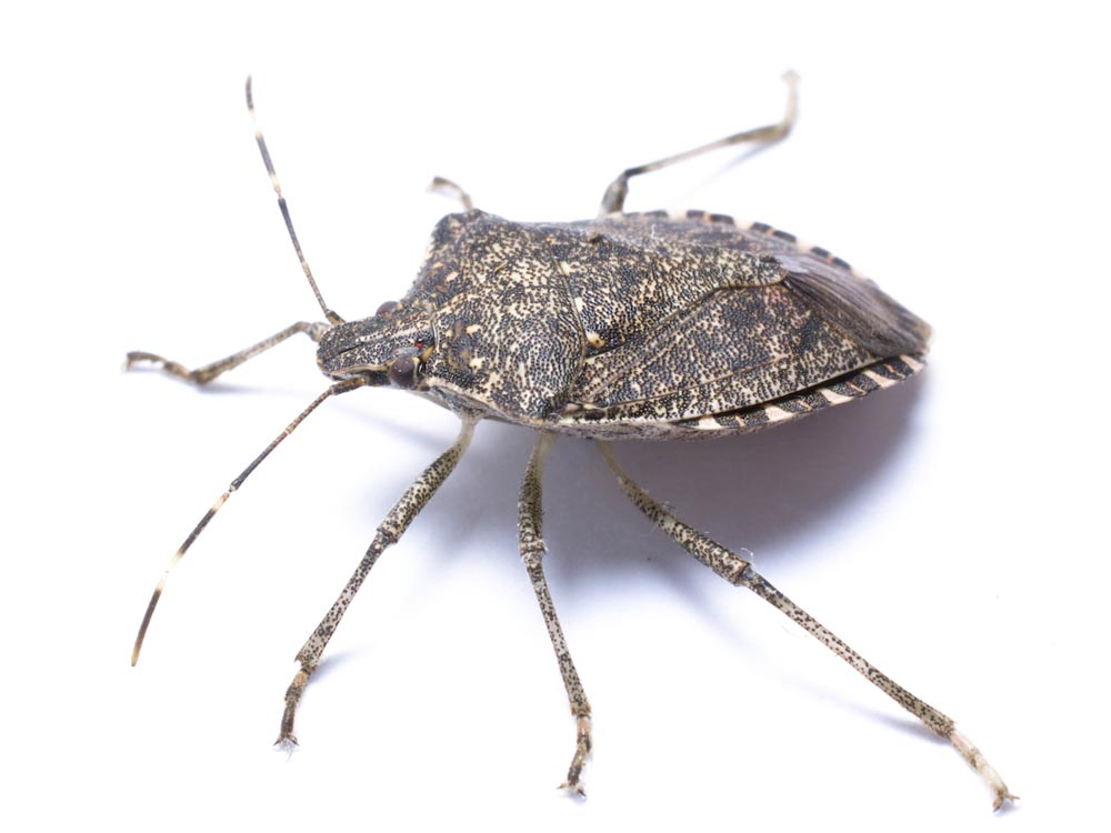 Stink Bugs In Chicagoland And Northern Illinois Vextech