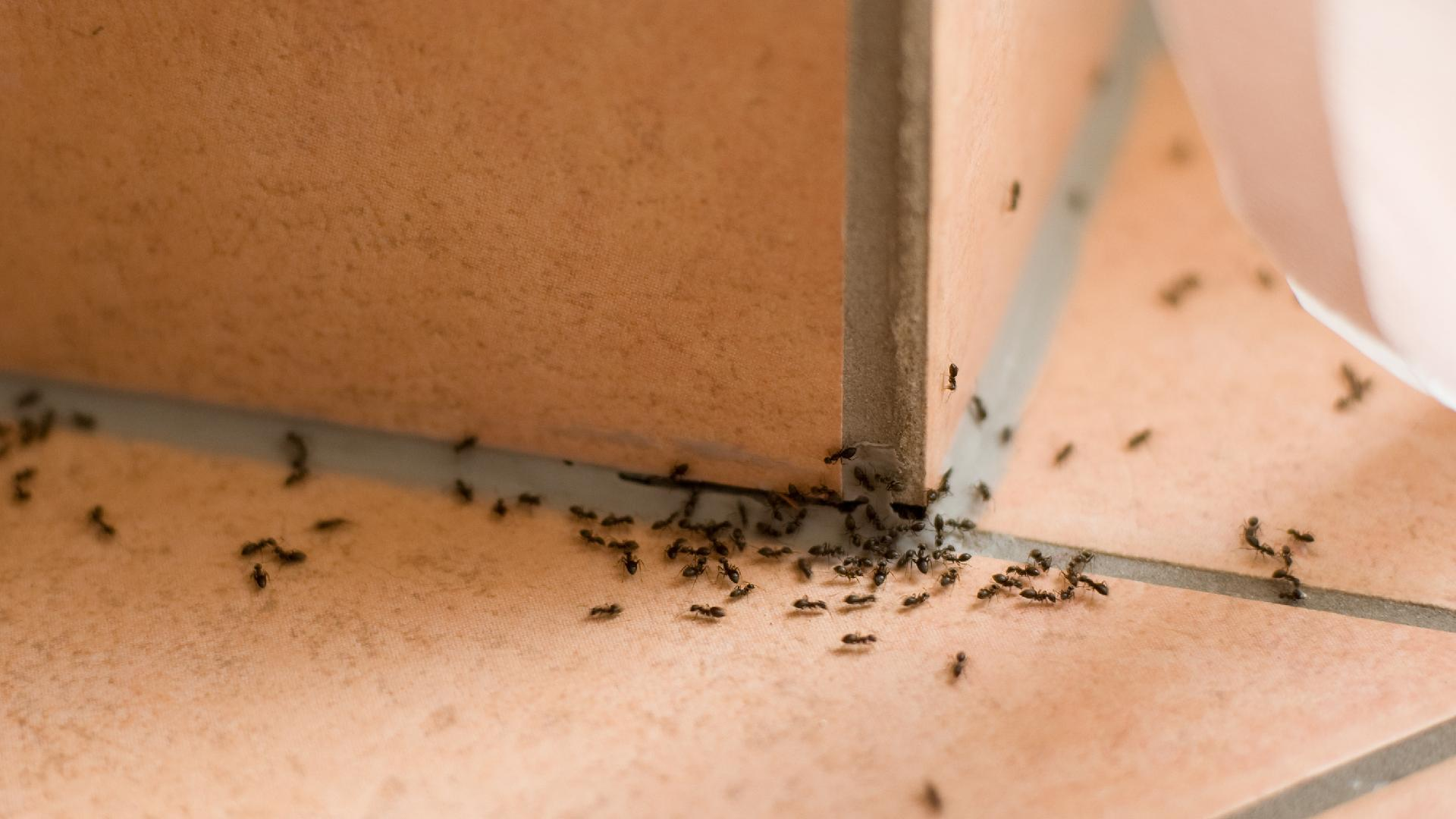 Ants Crush Basics: A Simple Guide to Getting Rid of Ants